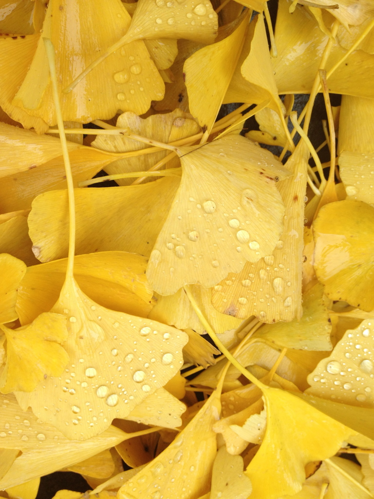 Yellow ginko leaves with drops of rain